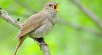 Which bird is known for its beautiful singing