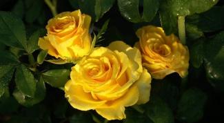 Как снять воск с роз
