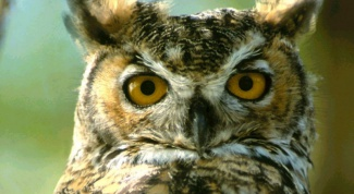 How to feed the long-eared owl