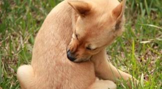 Как лечить зуд у собаки медикаментозно