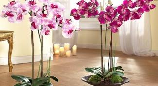 Как выпускает цветонос орхидея