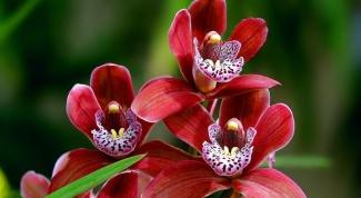 Чем подкормить засыхающую орхидею