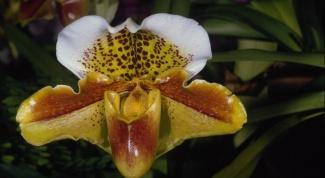Как спасти орхидею в 2018 году