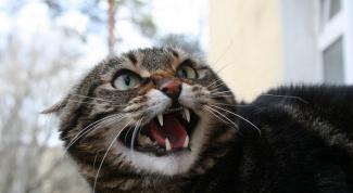 Как бешенство передается кошкам