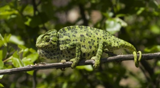 Как меняет цвет хамелеон