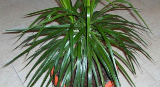 As in what kind of pot to transplant a dracaena