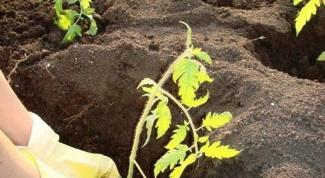 Как вырастить перец и помидоры