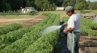 Как поливать перец и помидоры