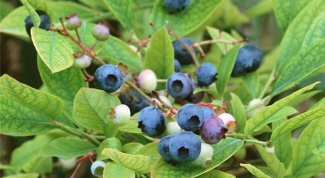How to grow blueberries seeds