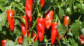 Как растет красный перец