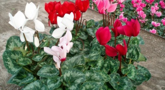 How often to water the cyclamen