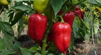 Как растет болгарский перец