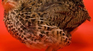 What breed of quail is the best