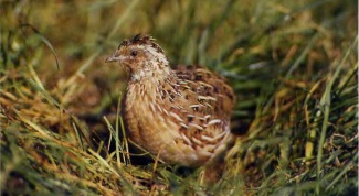 How to distinguish chickens quail