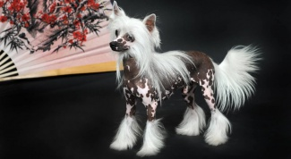 Китайская хохлатая собака: стандарты породы