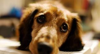 Почему у собаки наступает ложная беременность