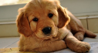 What to feed a Labrador puppy