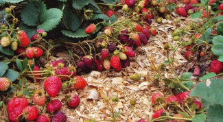 How to transplant strawberries Victoria