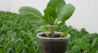 Как пересаживать капусту