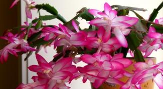 Как пересаживать цветок декабрист