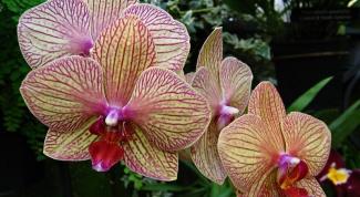 Орхидея фаленопсис: уход, полив, удобрение