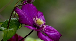 How to transplant clematis