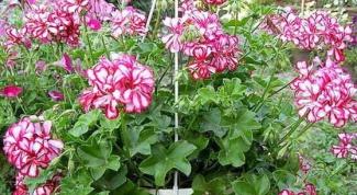 How to transplant geraniums