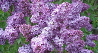 How to transplant lilacs