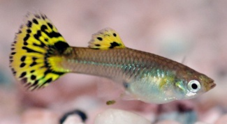 How to treat guppy fin rot from