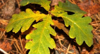 How to transplant oaks