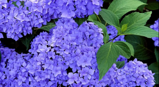 Гортензия - цветок с секретом