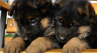 Caring for a puppy German shepherd