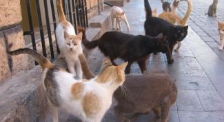Как лечить лишай у кошек