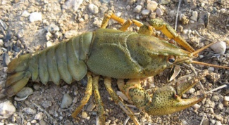 Bait for crayfish - fish or garlic?