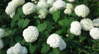 Why not growing hydrangea