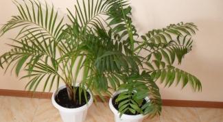 Тропический цветок ховея: уход в домашних условиях