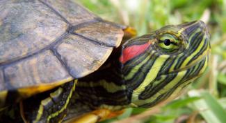 Красноухие черепахи: уход и содержание