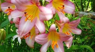 Кустовые лилии в саду: особенности посадки и ухода
