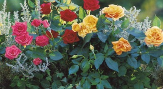 Caring for roses after planting
