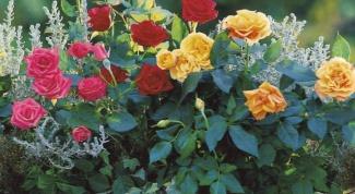 Уход за розами после посадки