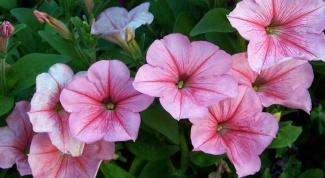 Вредители и болезни петунии