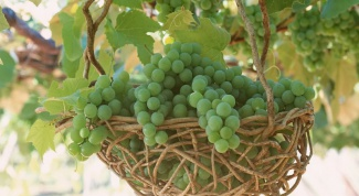 The care of grapes in the spring and summer: the main recommendations
