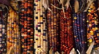 Откуда завезли кукурузу в Европу