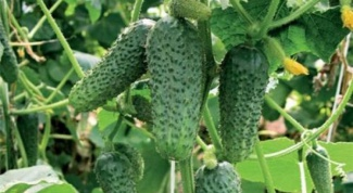 Огурец кустовой: особенности и сорта