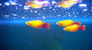 What is needed for fish guppies