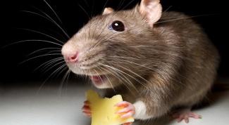 Уничтожение мышей: альтернативные решения проблемы