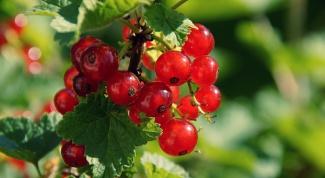 Как привести ягодный кустарник в порядок