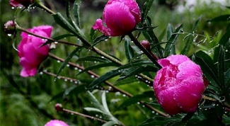 How to care for peonies after blooming