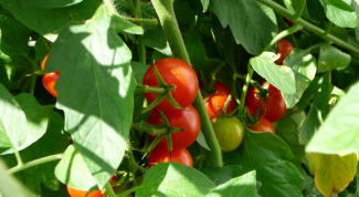 How to accelerate the ripening of tomatoes in the greenhouse