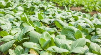 Что делать с рассадой капусты, если она очень вытянулась